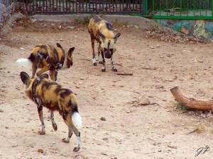 Hyeenat