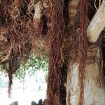 Puu ja ilmajuuret