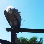 Kondorikotka